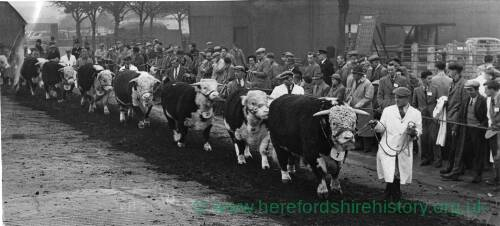 Hereford cattle and handlers at the cattle market.