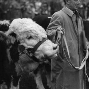 A Hereford bull being led at the cattle market.