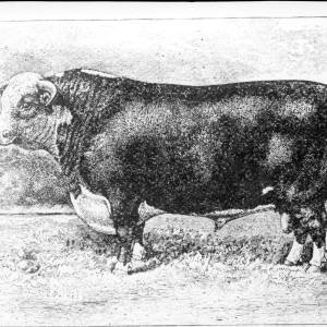 G36-209-12 Engraving of Hereford Bull by C. Palmer.jpg