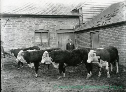 G36-010-04 Four bulls in farmyard.jpg