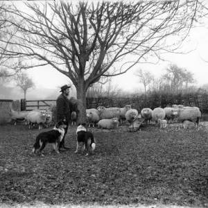 G36-046-09 Man, two dogs and sheep.jpg