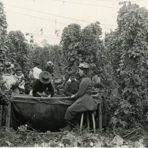 Hop Picking with tally sticks, Newton, Dilwyn