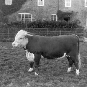 G36-181-14 Bull and man.jpg