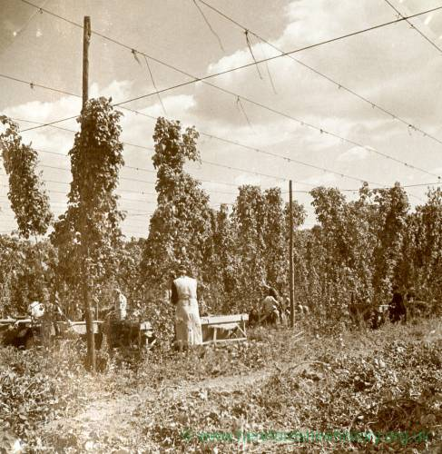 CJS006  Hop picking, c.1930s.jpg