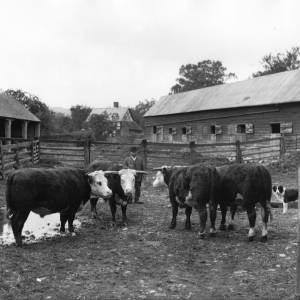 G36-314-04 Same four bulls with farmer and dog in stockyard of farm.jpg