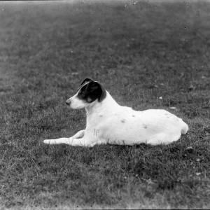 G36-210-13 White terrier lying on grass.jpg