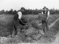 Lavender Harvest, Carshalton