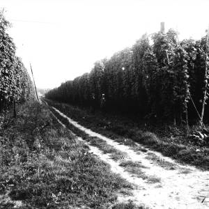 G36-446-01 Hop yard with two men.jpg