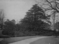 Morden Hall Park: Yew tree