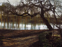The Canons Carp pond and Willow trees