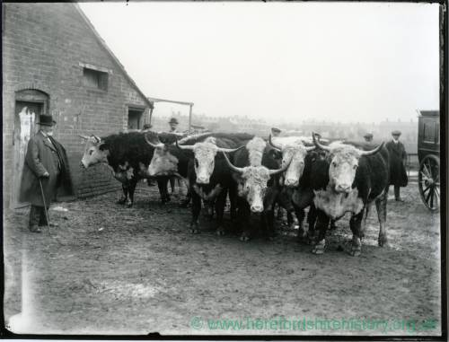 G36-015-09 Hereford cattle (longhorns) with well dressed man with walking stick in a farmyard, six other men and rear of a carriage.jpg