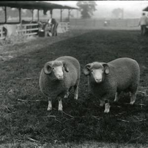 G36-218-18 Two sheep.jpg