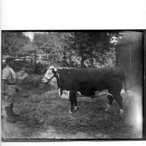 G36-331-14 Bull with handler.jpg