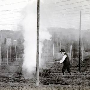 Hops, burning old hop bines c1930