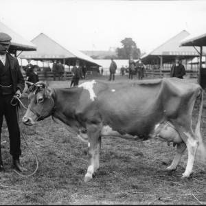 G36-226-05 Very thin cow with handler at showground.jpg