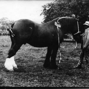 G36-059-01 Man with heavy horse, perhaps copy negative. Prize card, ribbons, plaits in mane and tail.jpg