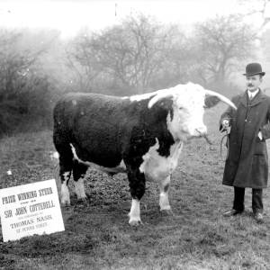G36-322-13 Man with prize winning steer bred by Sir John Cotterell.jpg