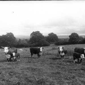 G36-303-03 Cows and calves held by farm workers.jpg