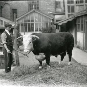 G36-214-01 Hereford bull & handler, background of house with glass conservatory & outbuildings.jpg