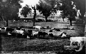 Cows grazing Palmerston Road