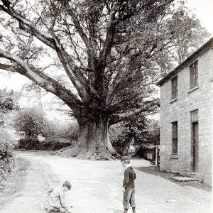 Great Oak, Eardisley