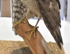 SL.893 - Sparrowhawk Specimen