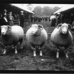G36-099-06 Three horned sheep.jpg