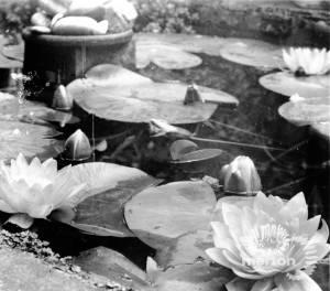 Water lilies in Ravensbury Gardens