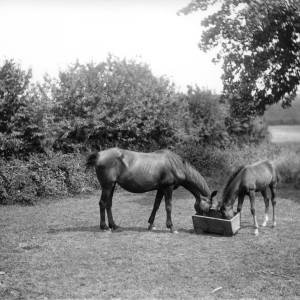 G36-247-03 Mare and foal in field, eating from trough on ground.jpg