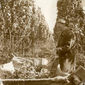 CJS011  Hop picking, c.1930s.jpg