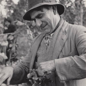 Amos Hoskins Smiling while Picking Hops in a Herefordshire Hop Yard