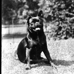 G36-127-15 Pug dog.jpg