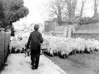 Herding sheep down Whitford Lane, ( now London Road )