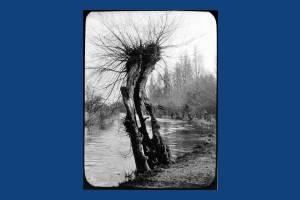 Veteran willow tree near the River Wandle