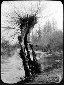 Veteran willow tree near the River Wandle