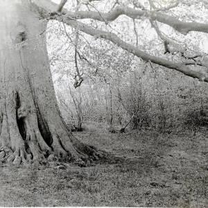 Beech Tree, Welsh Newton, 1931