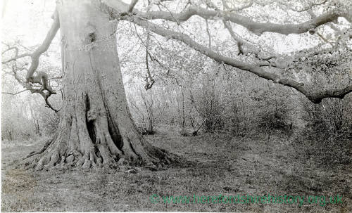 Beech Tree, Welsh Newton, 1931
