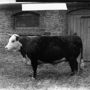 G36-226-03 Hereford cow in straw filled yard.jpg