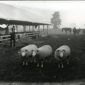 G36-218-15 Three sheep [dense fleeces & curly horns] at showground stalls, horse & cart, bystanders.jpg