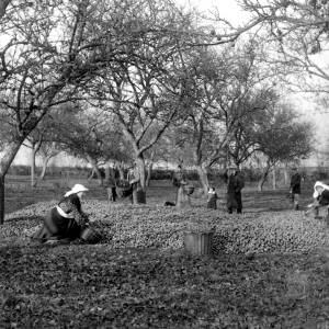 G36-546-05 Richard Ridler with women working in an orchard at Clehonger .jpg