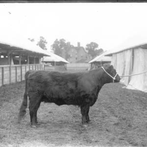 G36-226-04 Dark polled cow at showground.jpg