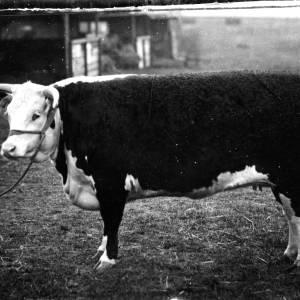 G36-549-14 A cow.jpg