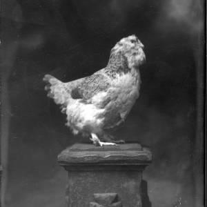G36-275-01 Large chicken (hen) standing on a pillar.jpg