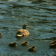 Mummy Duck and her babies