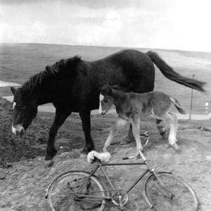 Two Welsh mountain ponies and a bicycle.