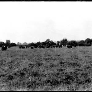 G36-421-07 View of a herd of Hereford cattle.jpg