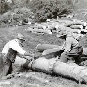 Sycamore harvesting near Hereford, c1930