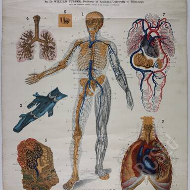 Turner's Veins and Lungs Anatomy Chart