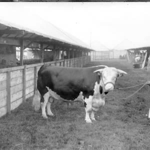 G36-305b-04 Stockman holding Hereford bull.jpg