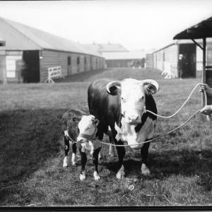 G36-042-03 Cow with calf. Handler wearing rumpled jacket and soft hat. Sign on door DALE.jpg